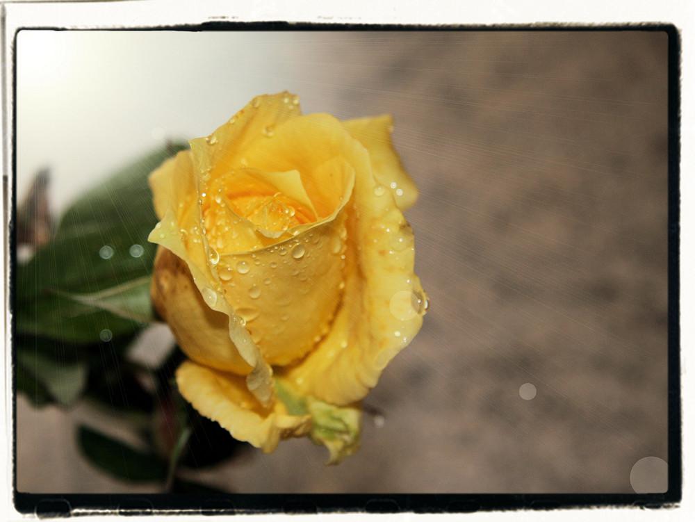 une rose pour ............vous!