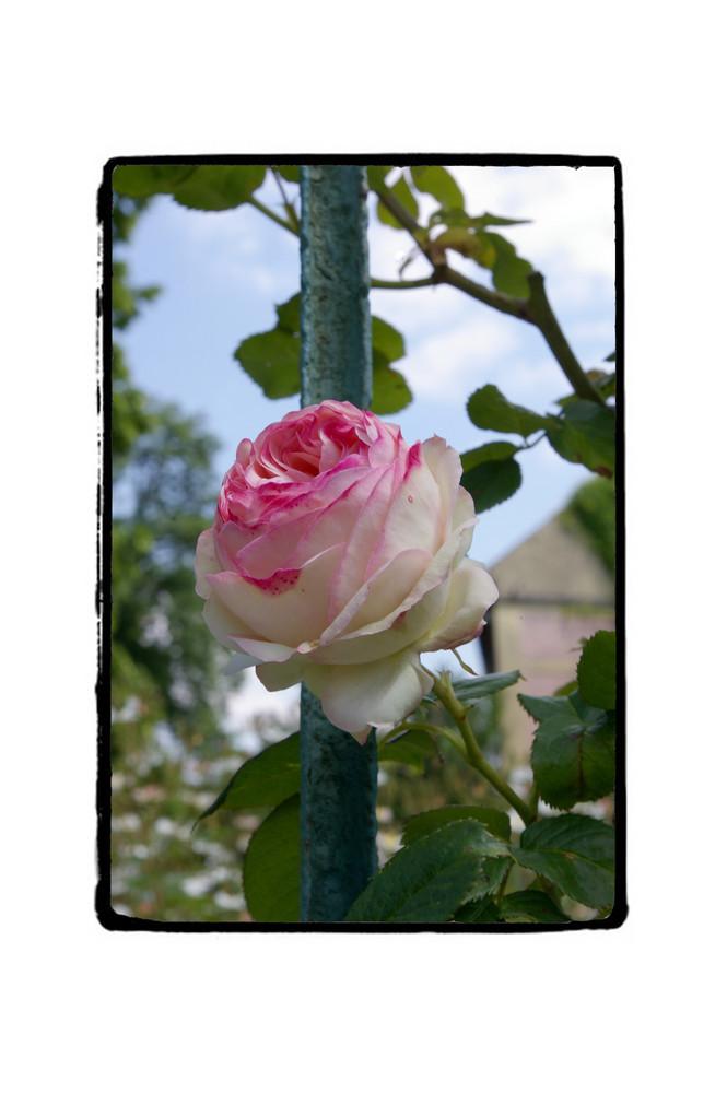 une rose prisonnière