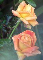 Une rose qui se cache et une autre qui se montre