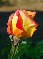 Une rose ! Simplement