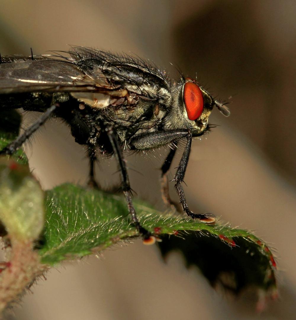 une simple mouche