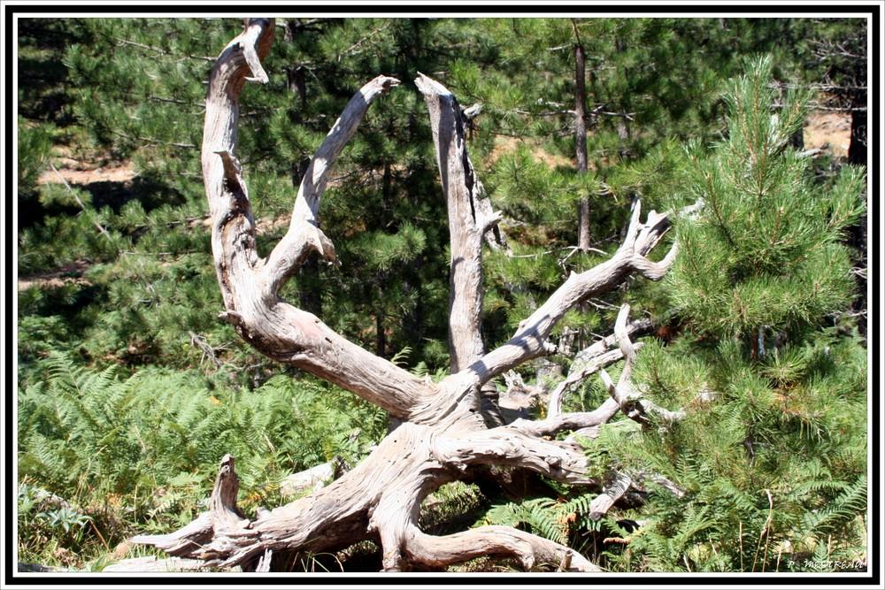 une souche de pin