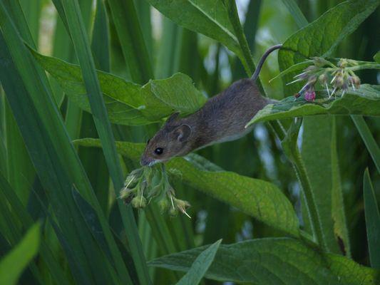 une souris grise qui courrait dans l'herbe...........................