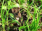 une souris verte qui courrait dans l'herbe ...