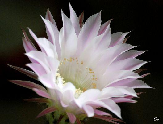 une superbe fleur de cacté qui ne dure qu'un jour