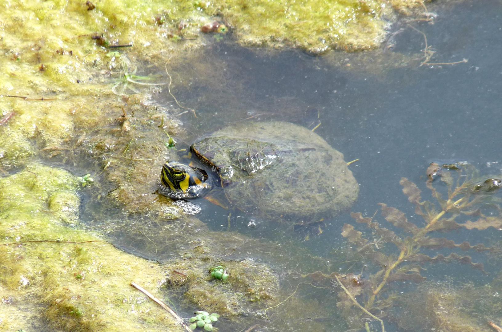 Une tortue dans la mare...