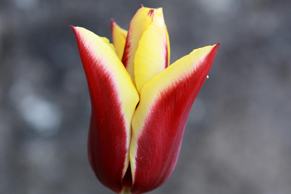 une tulipe !!