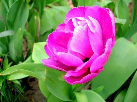 Une tulipe rose