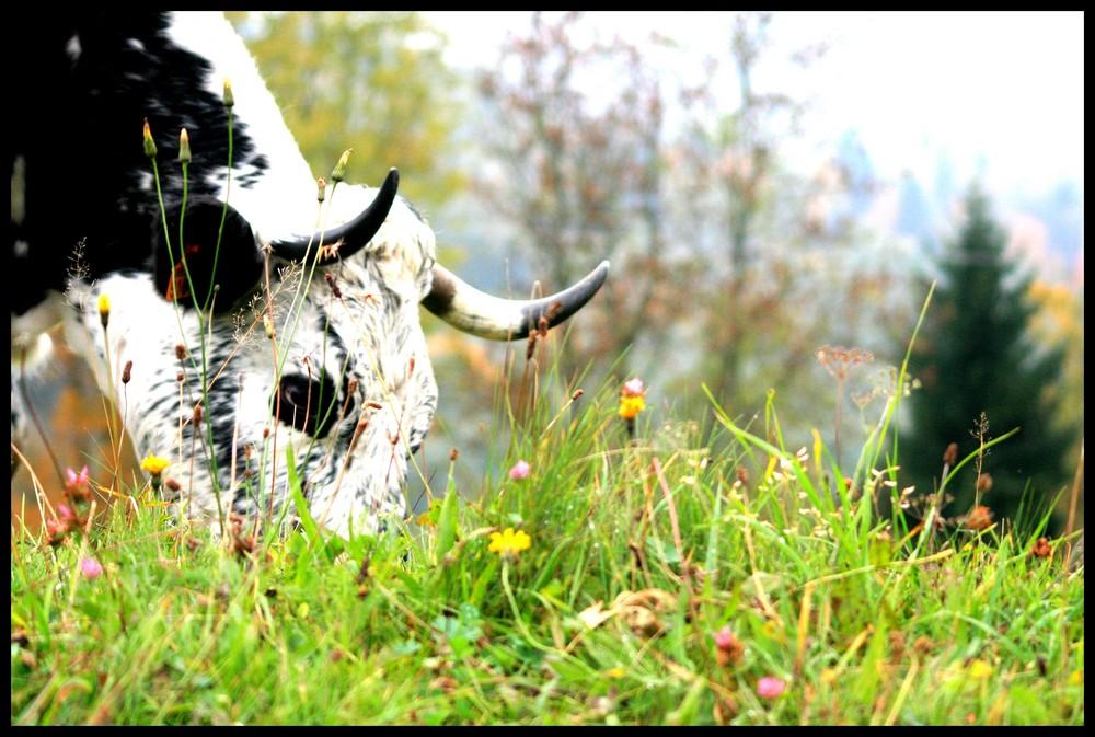 Une vache au ballon d'alsace