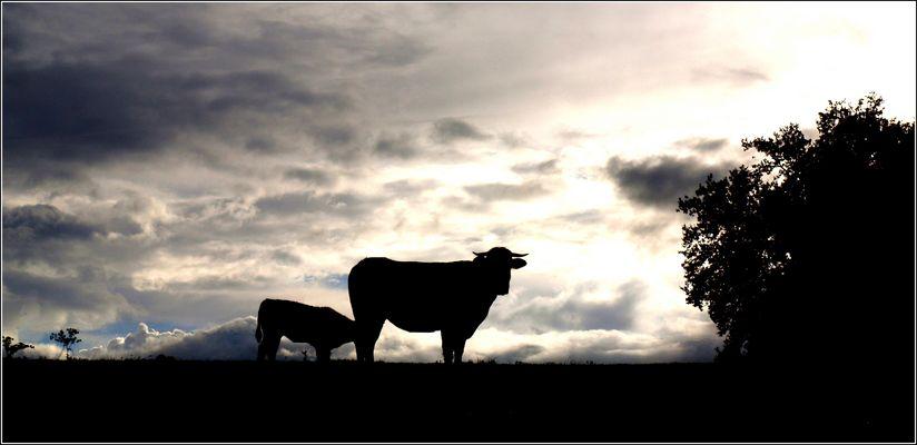 Une vache et son veau juste avant la pluie - Eine Kuh und ihr Kalb kurz vor dem Regen