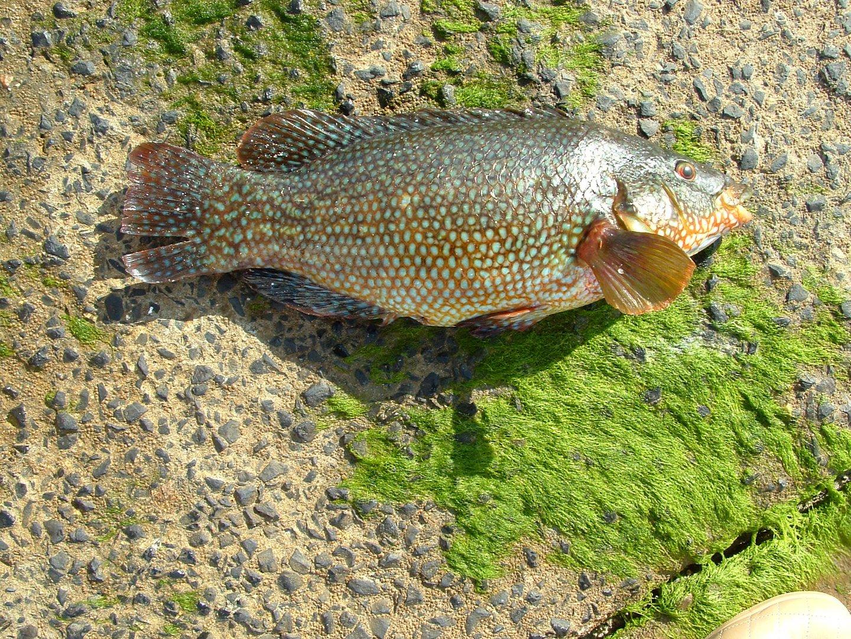 une vieille (poisson de bretagne )