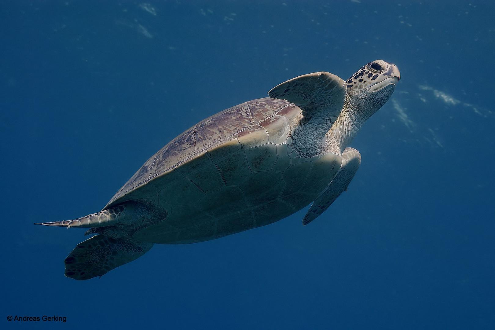 Unechte Karettschildkröte (Caretta caretta)