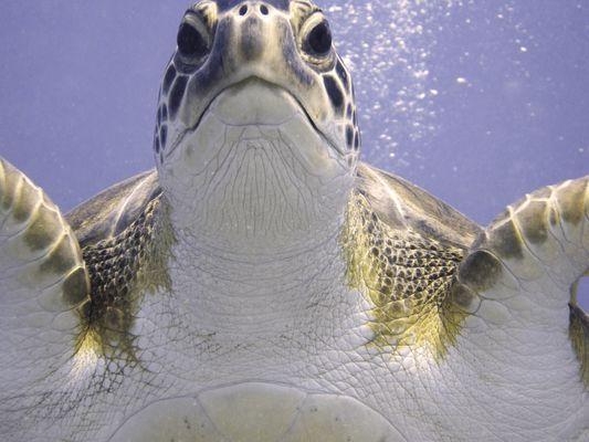 Unechte Karettschildkröte