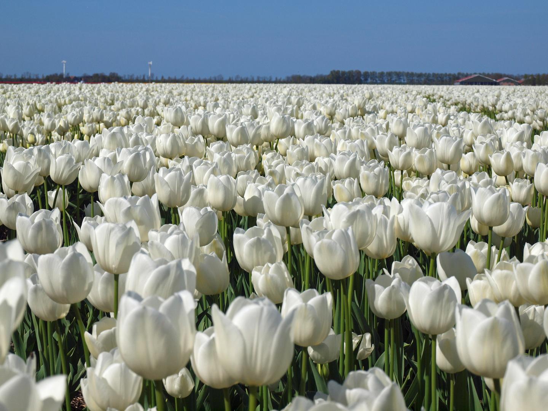 Unendliches Tulpenfeld