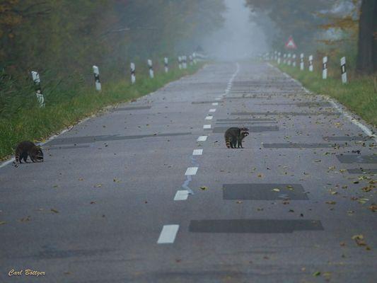 Unerwartet - Waschbären