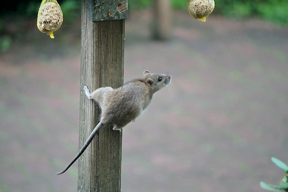 Ungebetener Gast oder Vogel mit Ohren?