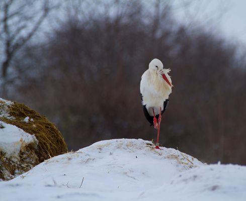 Ungewöhnlich - Storch im Winter