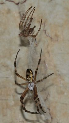 Unglaublich: eine Wespenspinne (Argiope bruennichi) hat sich bei mir in der Toilette ihr Netz gebaut