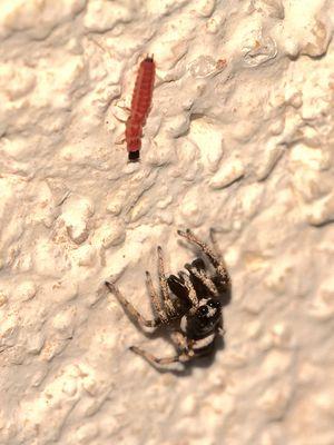 Ungleiche Waffen - Zebraspringspinne (Salticus scenicus) mit einer Käferlarve, ...