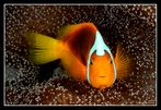 unidentified clownfish