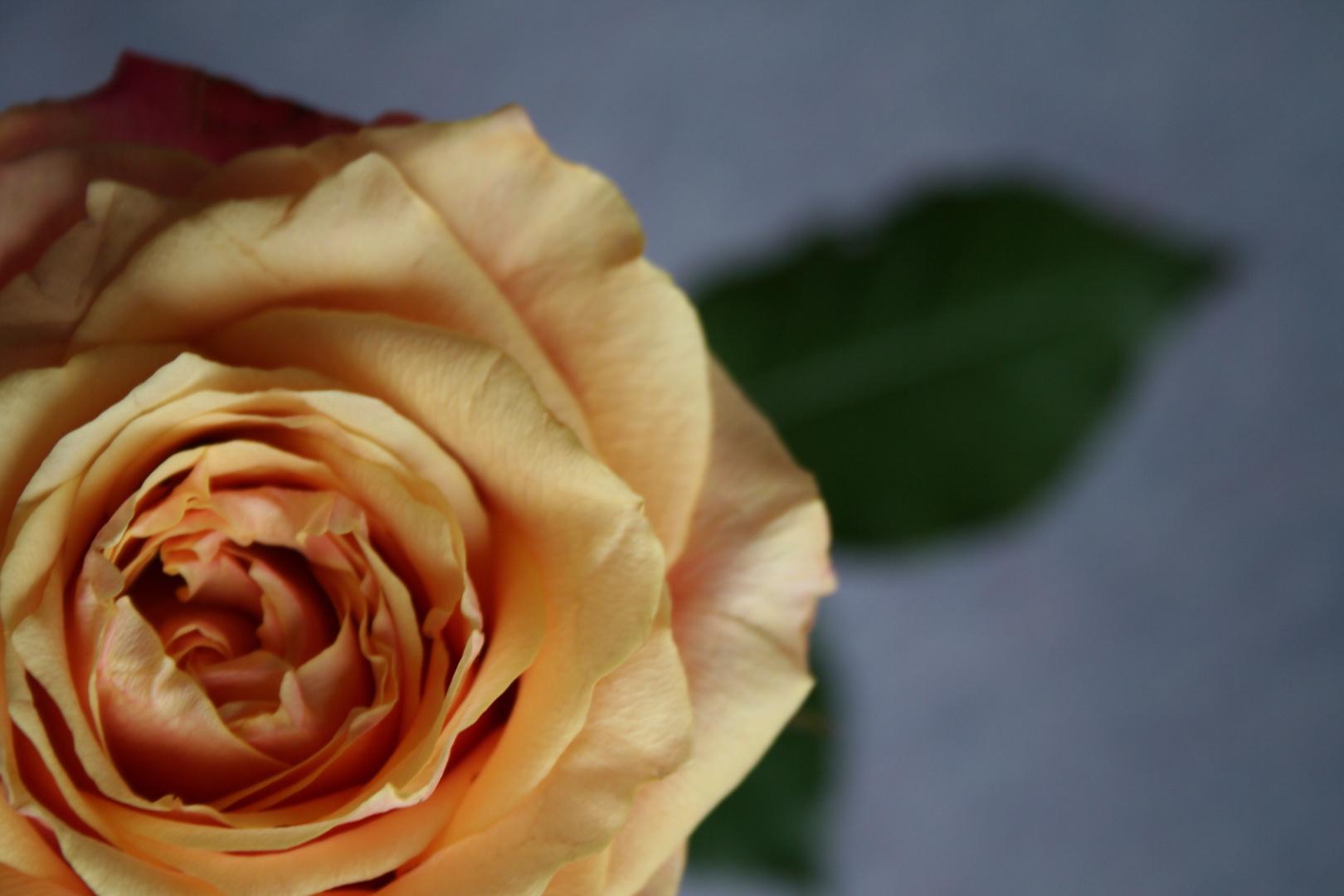 Unscharfe Rose