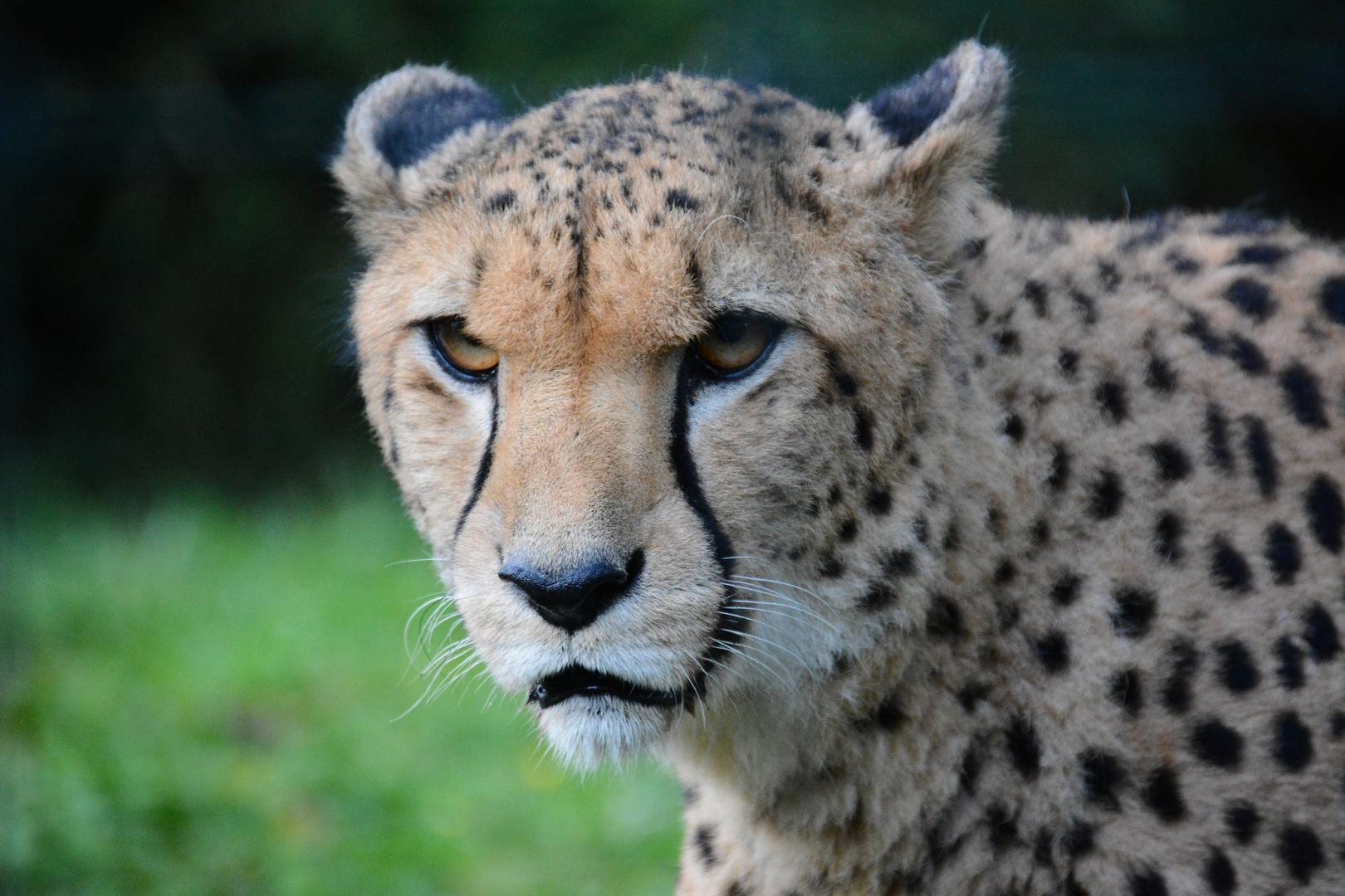 unscharfer Gepard