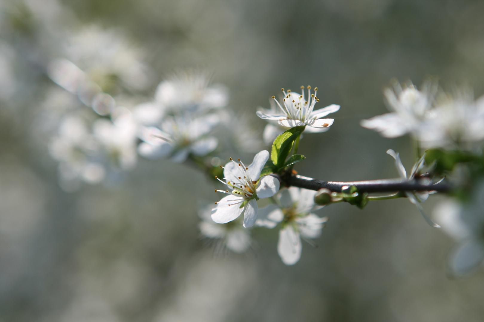 Unschuldig weiss kommt er daher, der Frühling...