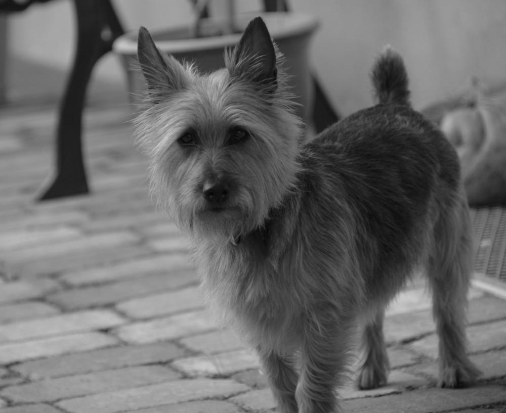 ...unser Australien Terrier...