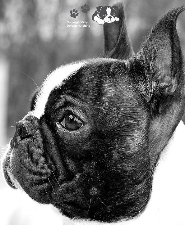 Unser Baby ( Boston Terrier )