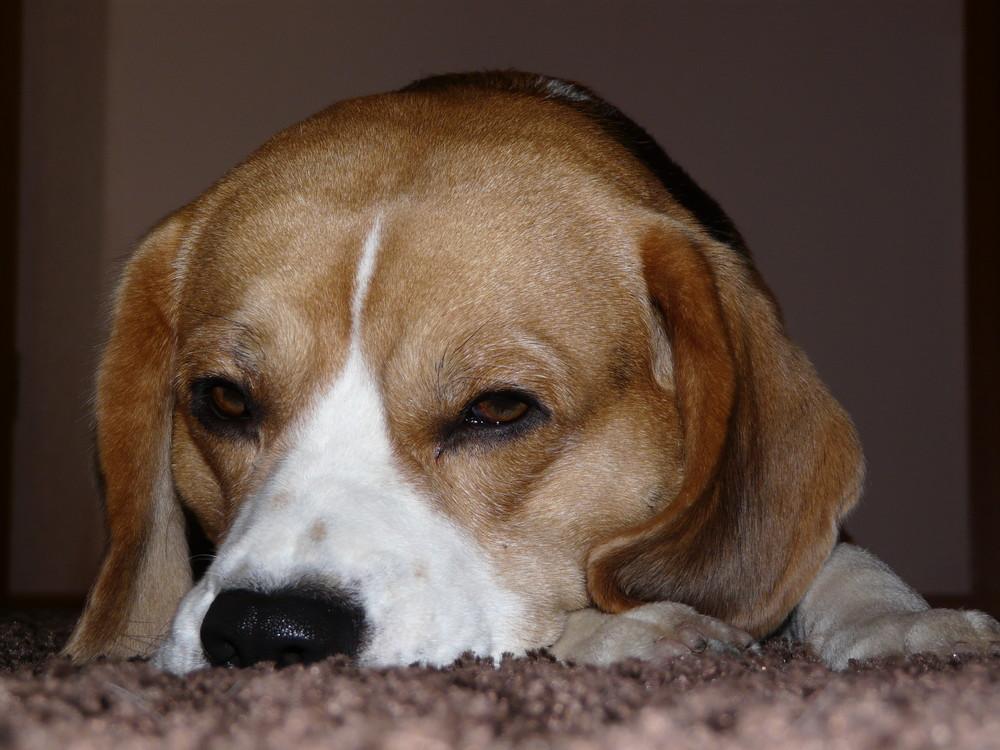 Unser Beagle Amon