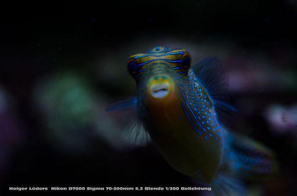 Unser blauer Kugelfisch