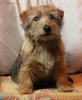 Unser Charly (Norfolk Terrier)