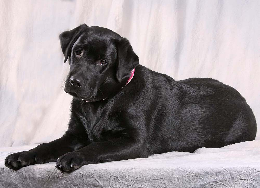 unser Donna - süßer Labbi - Labrador