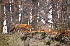 Unser Fuchs