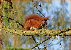 """Unser """"Garten-Haustier"""", das Eichhörnchen"""