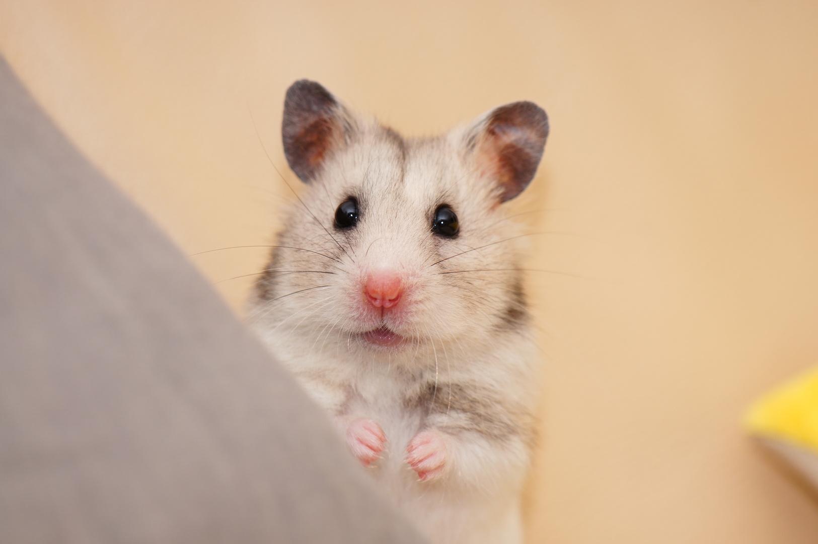 Unser Hamster auf Erkundungstour