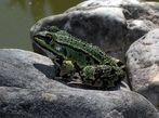 Unser Haus-Teich-Frosch