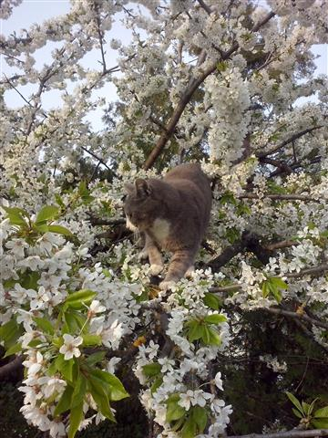 unser Kater im Kirschbaum