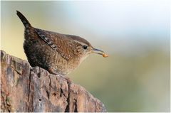 Unser kleinster heimischer Vogel...