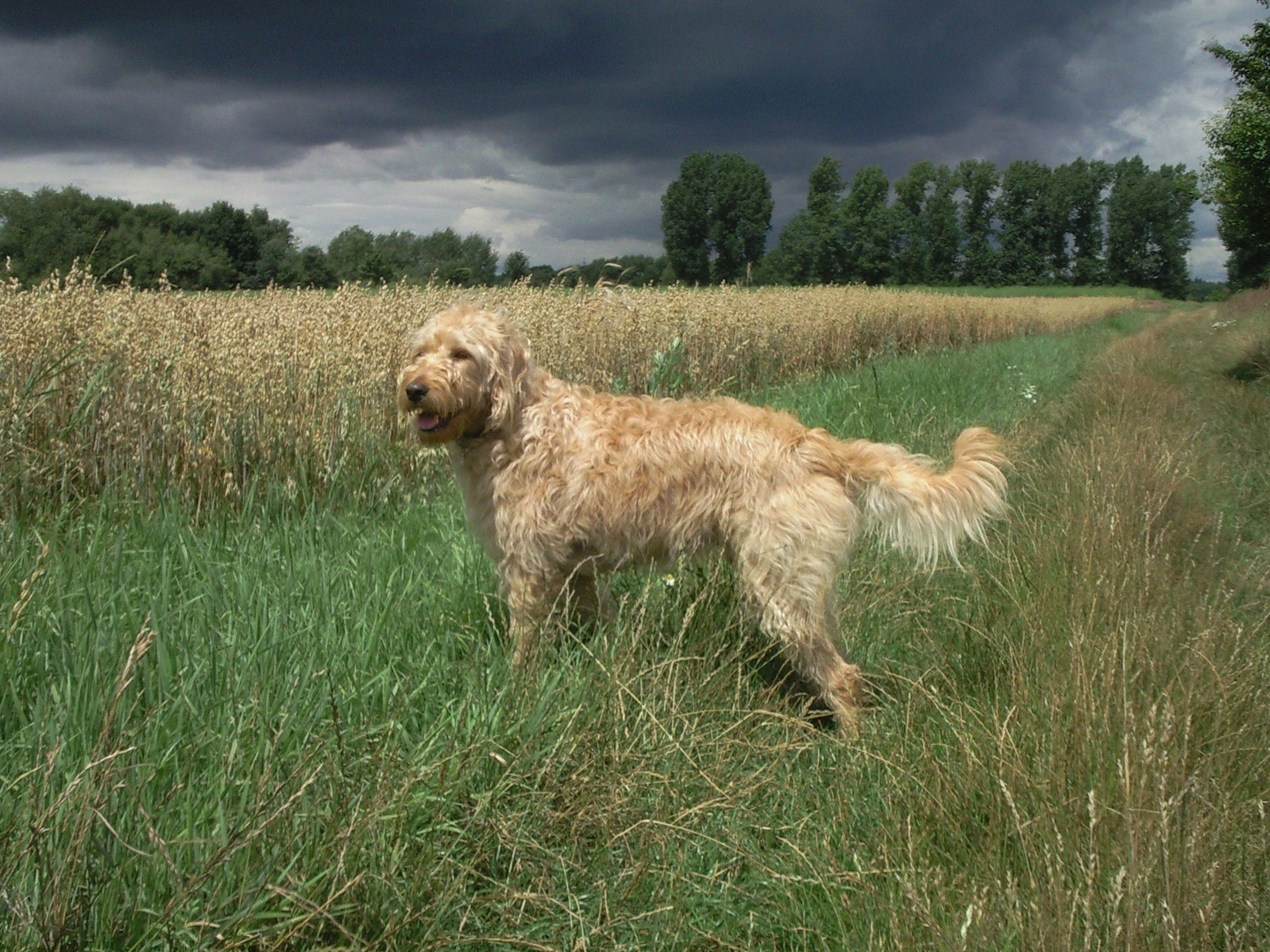 """Unser Labradoodle """"Limes"""""""