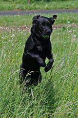 Unser Labrador in Action