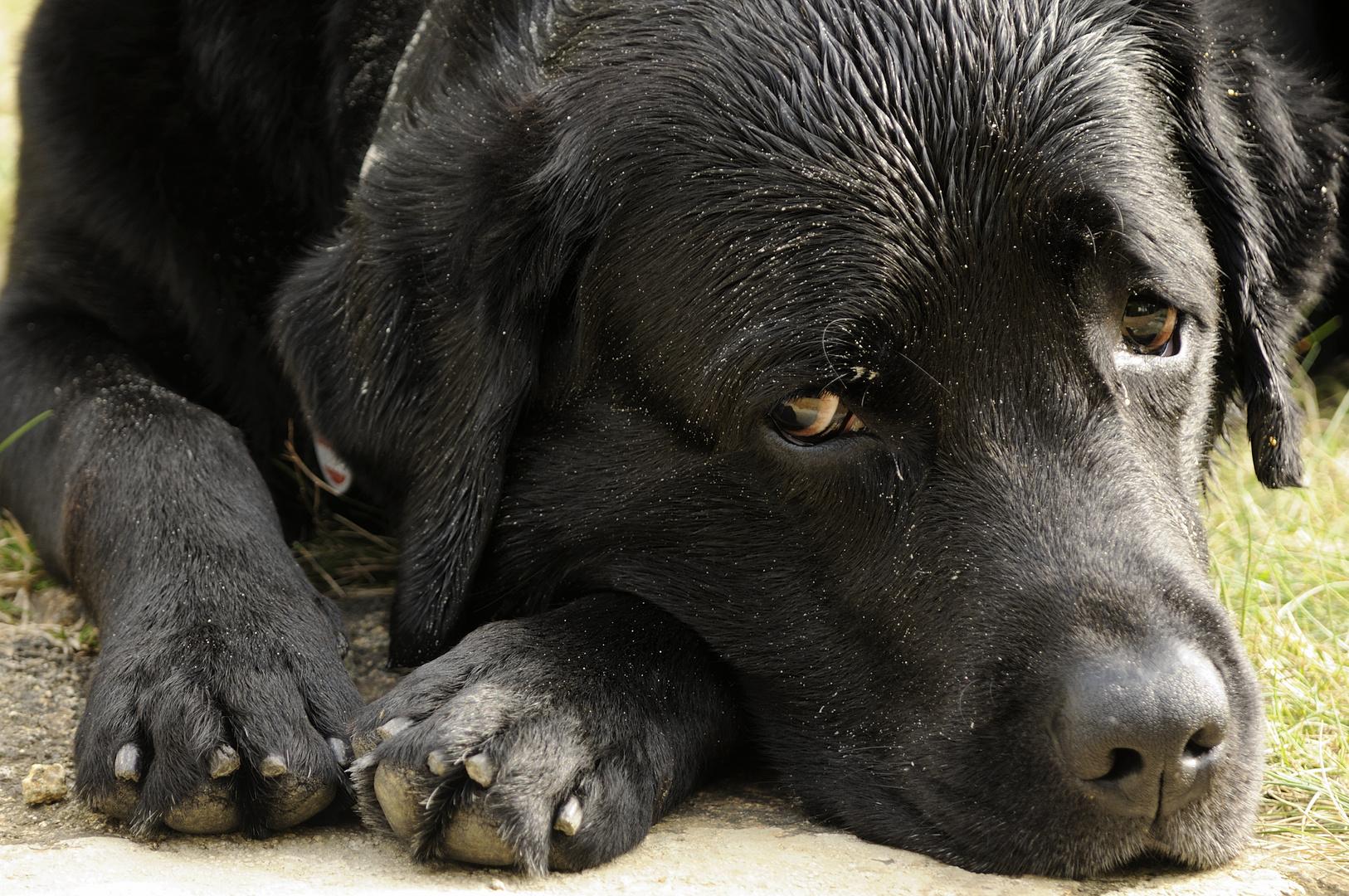 Unser Labrador Toni .....