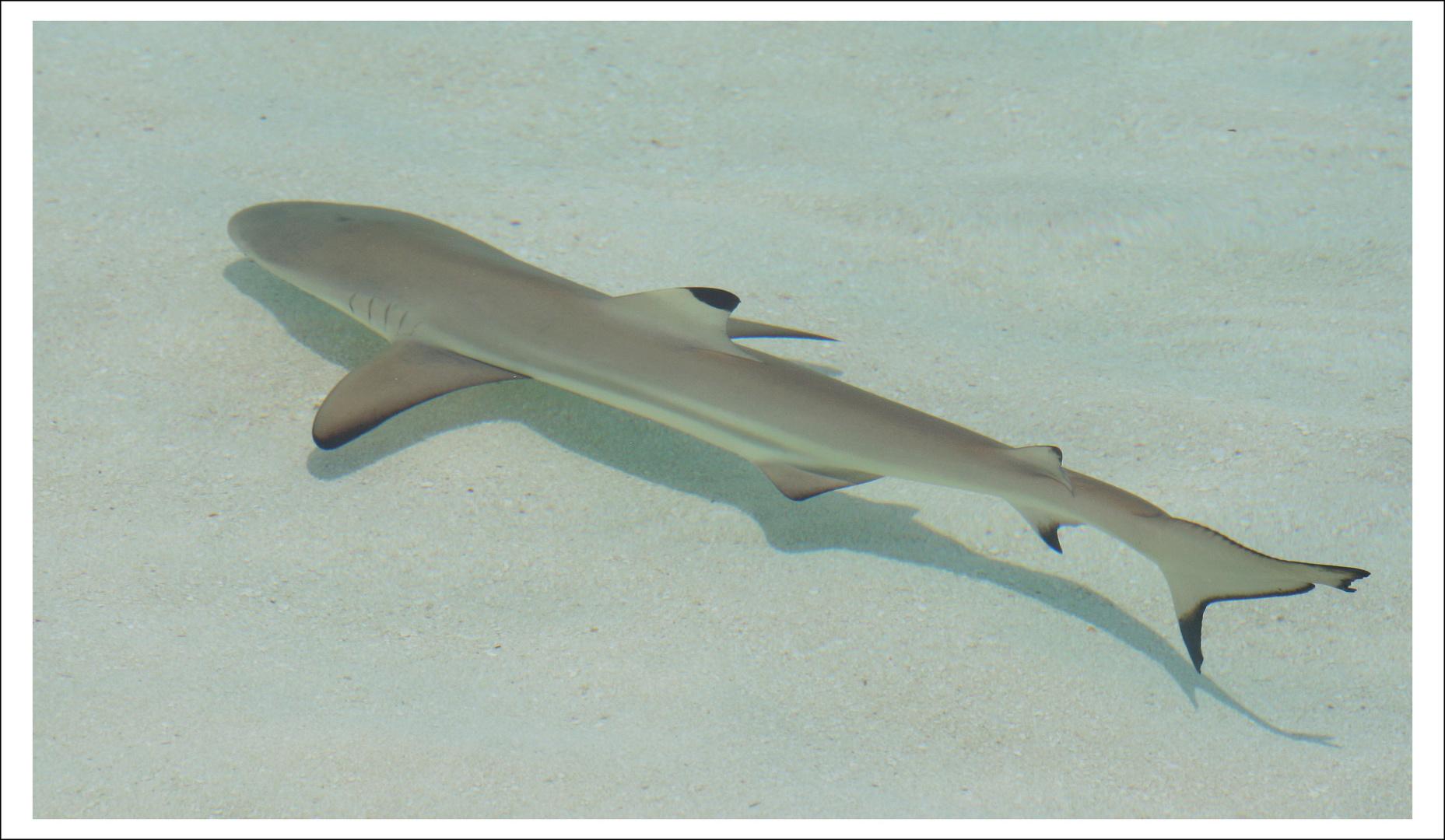 Unser Lagunen-Hai