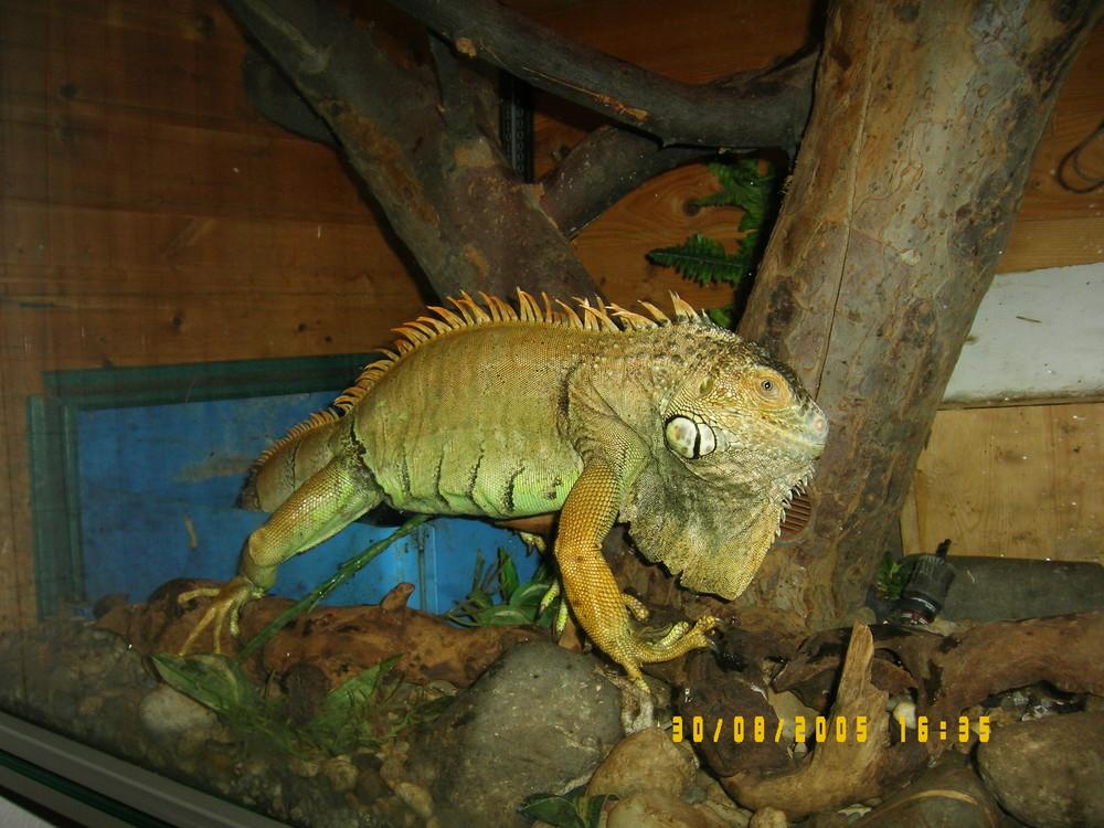 Unser Leguan Samy