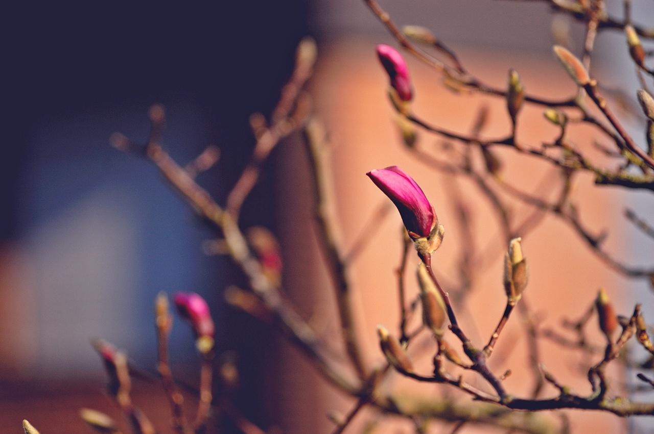 Unser Magnolienbaum...