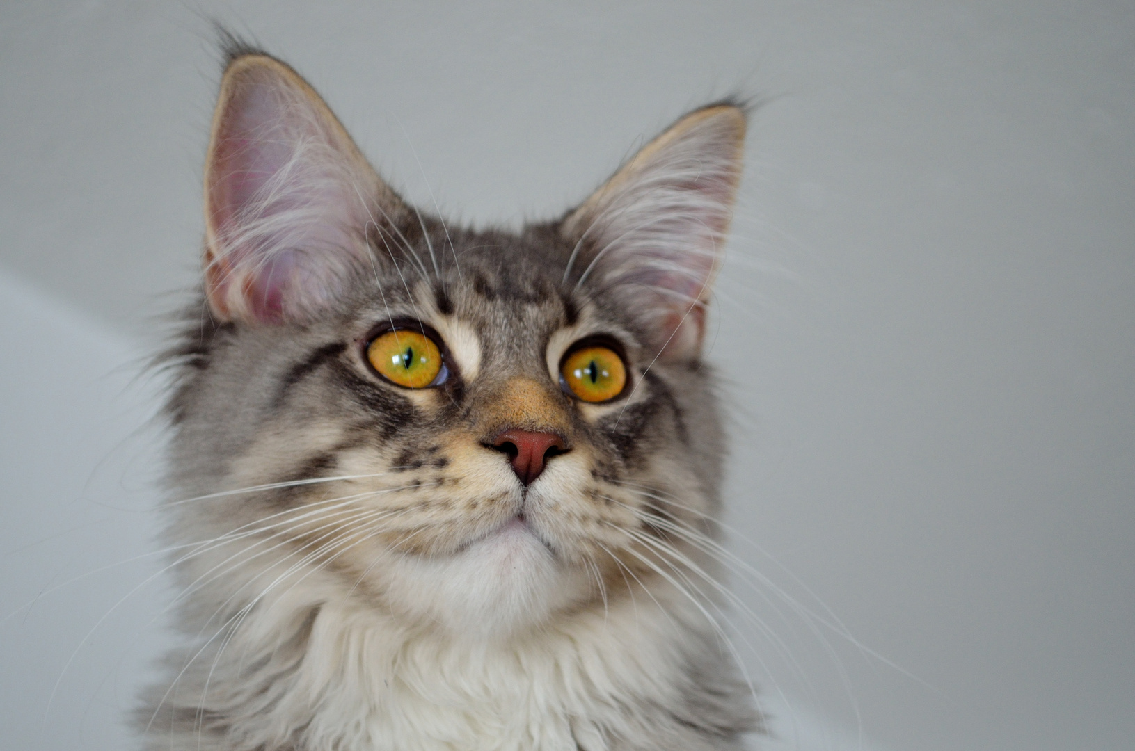 Unser Maine Coon Kater Nino........