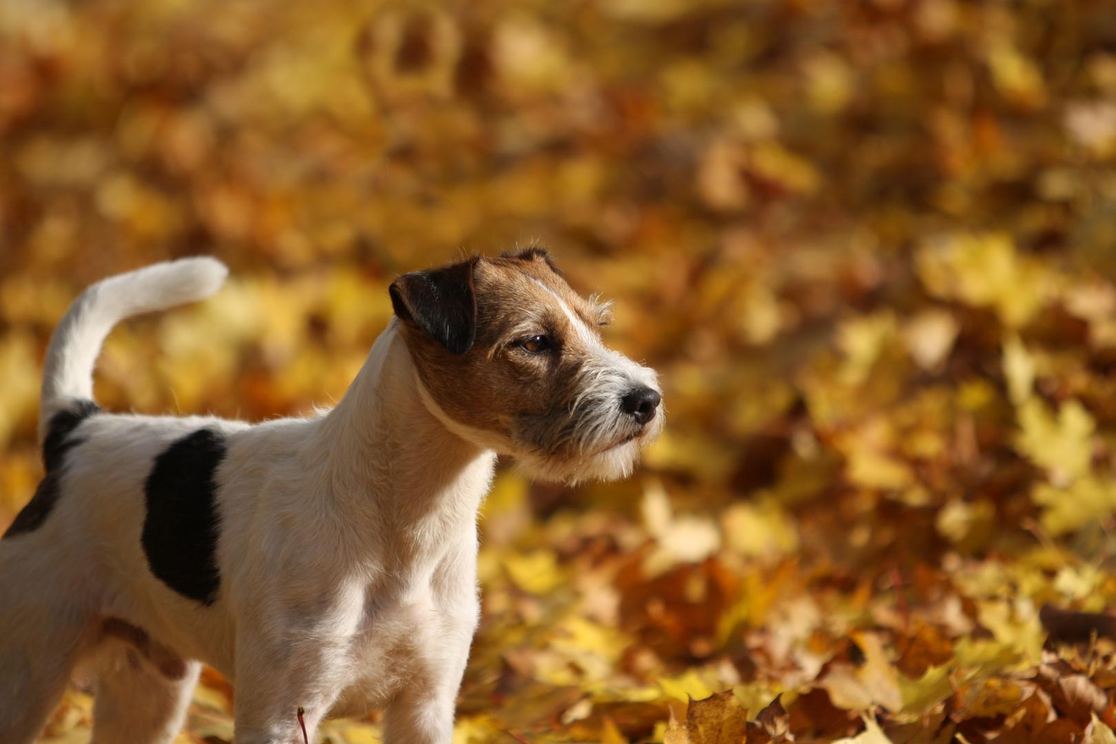 "Unser Parson Russell Terrier ""Socke"" ..."
