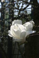 Unser Tag der Magnolie 1