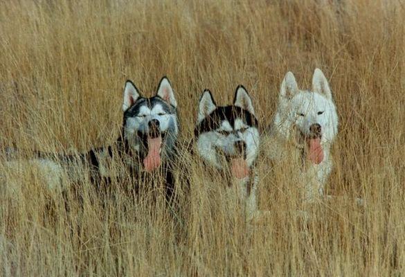 Unsere 3 Huskies