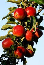 Unsere Äpfel in der Abendsonne